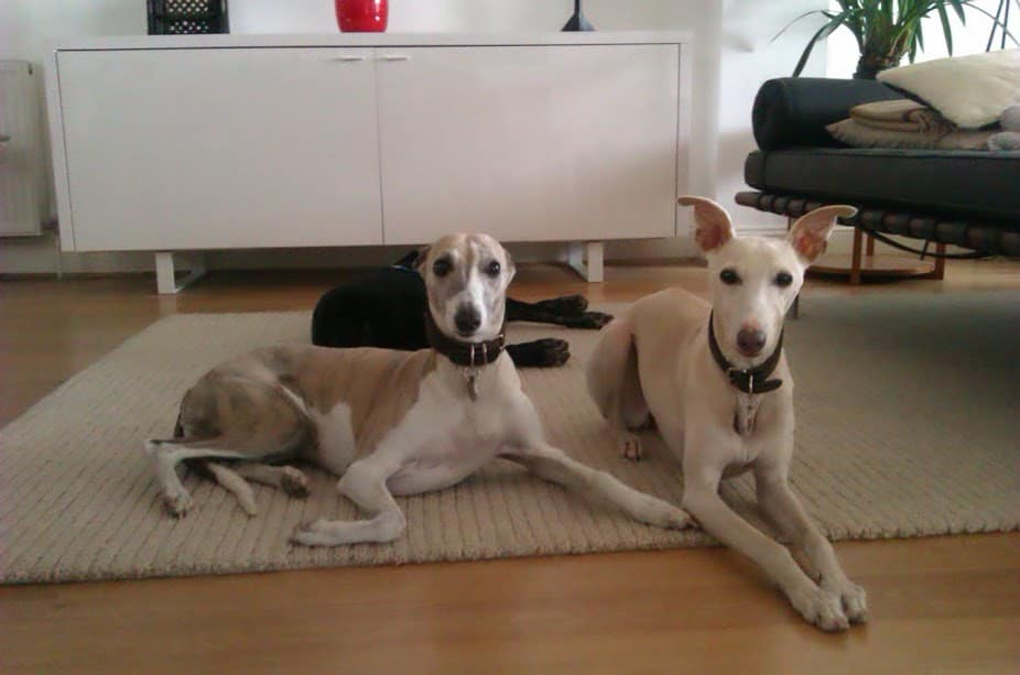 Penny and Ziggy - Dog Day Care - Wandsworth and Wimbledon