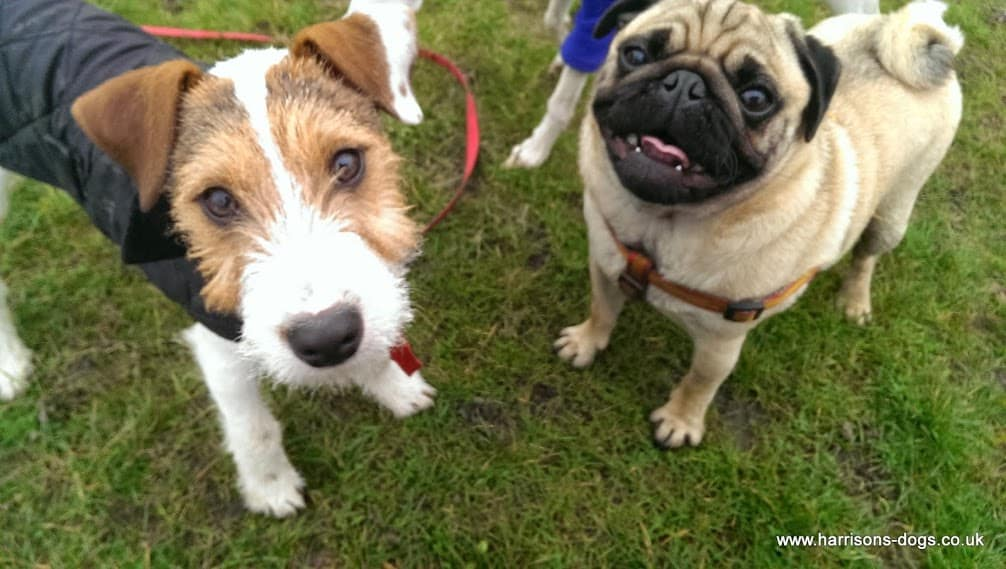 George and Rocky at Tooting Common - Dog Walks