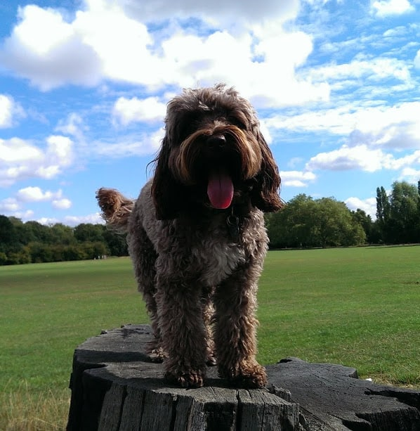 Paddy at Tooting / Balham Dog Walker - Dog walking and day care
