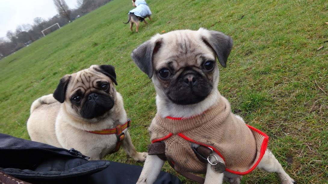 Clapham Dog Walkers - Pugs